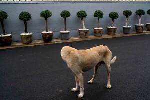 Headless-Dog