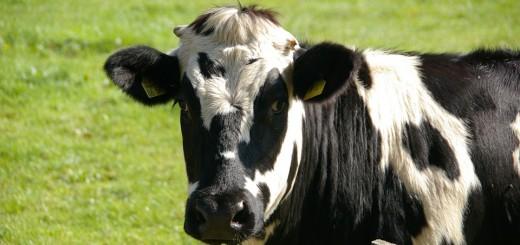 cow-234835_960_720