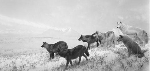 Hiroshi Sugimoto, Alaskan Wolves, 1994.Tirage gélatino-argentique, 120 × 210 cm Collection de l'artiste. © Hiroshi Sugimoto