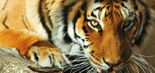 Tigre La Bourbansais