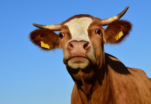 cow-1863839_960_720