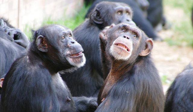 Faisons-nous de la politique comme les grands singes ?
