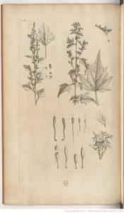 Planche du Botanicon Parisiense