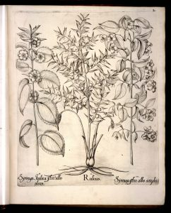 ruscus-hortus-eystettensis