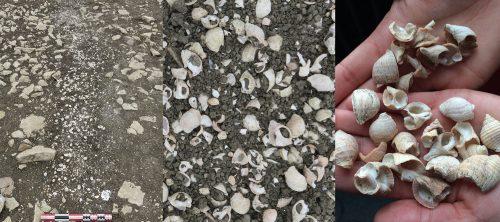 Fig. 1 : Le pourpre de l'atlantique (Nucella Lapillus) sur le site archéologique
