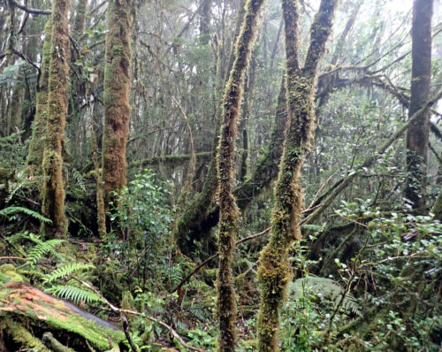 Walking through the rain forest up to Mt Wilhelm (Simbu province)