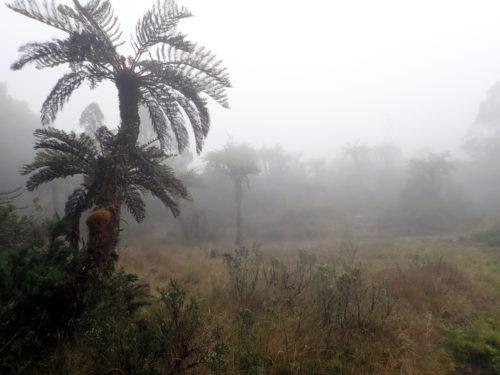 Tree ferns scattered in the grassland on Mt Wilhelm slope (Simbu province)