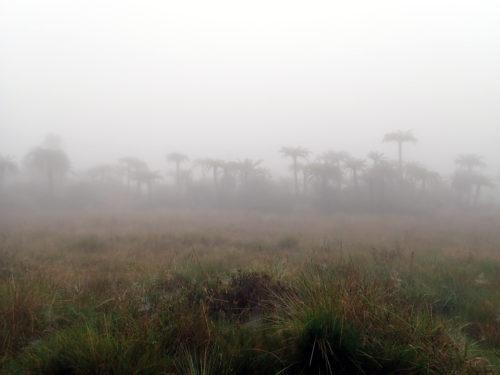 Tree ferns scattered in the grassland on Mt Wilhelm (Simbu province)