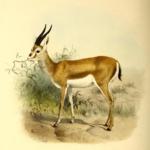Gazelle de Cuvier