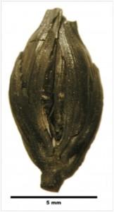 Herveux epillet de blé carbonisé Tell Arqa