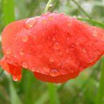 Mohnblume nach dem Regen