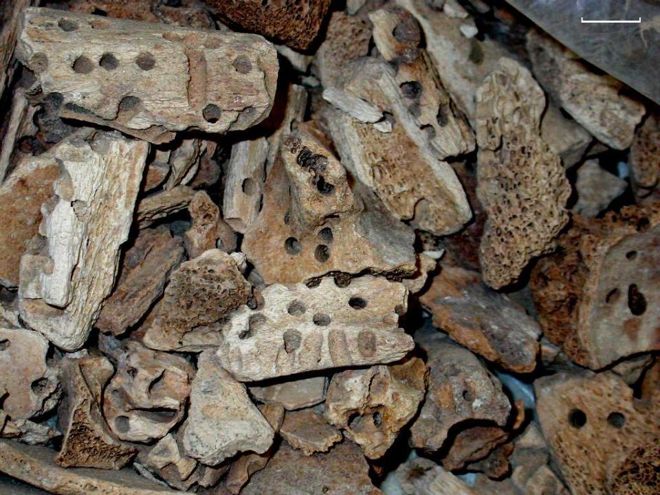 Fragments d'os humains provenant de la tombe E1 (Jéricho). Les multiples perforations sont attribuées à des chambres de pupation de Dermestes sp. (échelle :10 mm). Photo S. Blau.