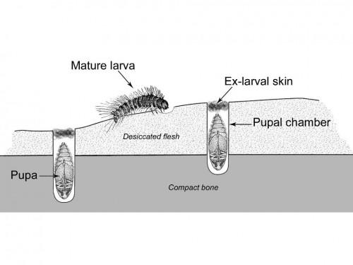 Représentation schématique de chambres de pupation de Dermestes dans une portion d'os compact. Comme suggéré ici, les différents types de perforations observés sur os sec sont corrélés à la persistance de peau et/ou de muscles partiellement desséchés à la surface de l'os au moment de l'infestation.