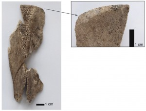 Fig. 2. Fragment distal d'outil sur scapula de bœuf (niveau 2).