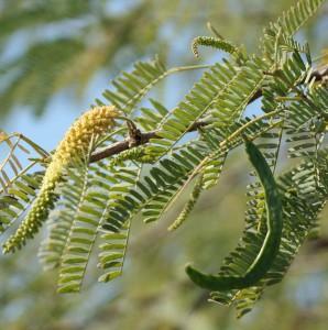 Figure 4. Feuillage de Prosopis Juliflora (cliché: M. Tengberg)