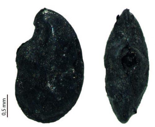 Fig. 1 : graine de lin carbonisée, profil (gauche) et face ventrale (droite). Bosra, Syrie, 2e-4e s. ap. J.-C.