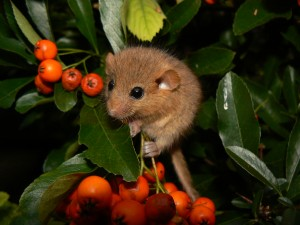 Hazel dormouse, (Mucardinus avellanarius). Source: Wikipedia.