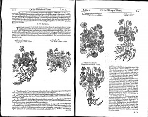 "John Gerard's ""The herball or Generall historie of plantes"" (1633) Chapter 312: Of Violets"