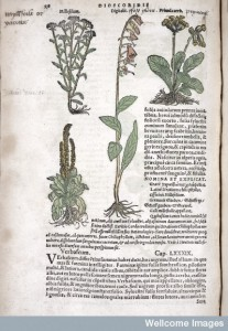 Yarrow. From Dioscorides, De medicinali materia. Credit: Wellcome Library, London.