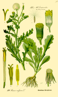 Groundsel (Senecio vulgaris). Credit: Wikimedia Commons.