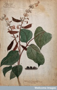 V0043440 Bean plant (Phaseolus species): flowering and fruiting stem