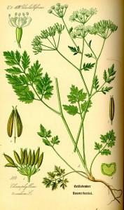 Rough chervil (Chaerophyllum temulentum). Couresy of Kurt Stüber, www.biolib.de.