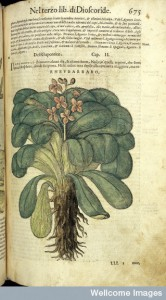L0031508 P. Mattioli, I discorsi ...nelli sei libri Credit: Wellcome Library, London. Wellcome Images images@wellcome.ac.uk http://wellcomeimages.org Dioscorides' rhubarb. Rhevbarbaro. (Rhubarb). A renaissance illustration from Pietro Andrea Mattioli's Italian translation of Dioscorides, ed. 3, Venice, V. Valgrisi, 1568. Coloured drawing 1568 I discorsi...nelli sei libri di Pedacio Dioscoride Anazarbeo della materia medicinale... Pietro Andrea Mattioli Published: 1568 Copyrighted work available under Creative Commons Attribution only licence CC BY 4.0 http://creativecommons.org/licenses/by/4.0/