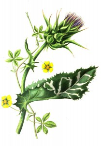 Painting of Carduus benedictus (holy thistle) & Potentilla reptans (creeping cinque foil) from The Romance of Nature, Louisa Anne Meredith [Public domain], via Wikimedia Commons