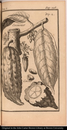 Figure 1. Branch, fruit, seed, and flower of a cacao tree. Courtesy of the John Carter Brown Library, Brown University.