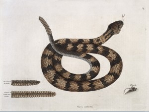 Rattle-snake with section of rattle and tooth, from Mark Catsby, (1731) The Natural History of Carolina, Florida, and the Bahama Islands.  Credit: Wellcome Library, London. Wellcome Images