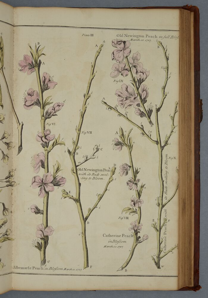 3)'Pomona: or the Fruit Garden Illustrated', Batty Langley, 1729. Large Cookery A/LAN. Plate 3, showing the blossom on different varieties of peach trees.