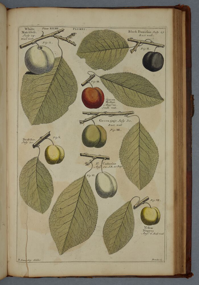 3)'Pomona: or the Fruit Garden Illustrated', Batty Langley, 1729. Large Cookery A/LAN. Plate 24, showing different varieties of plums.