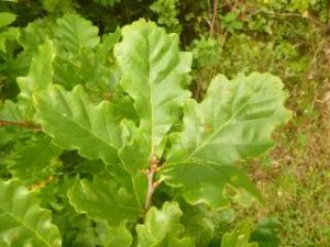 Young oak seedlings (author's photograph).