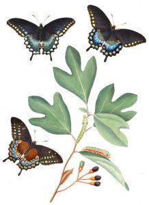 Figure 4. Sassafras tree leaves (Wikipedia)