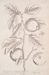 "Elizabeth Blackwell, ""The apple tree or pearmain,"" 1739, Science, Industry and Business Library: General Collection , The New York Public Library. Source: The New York Public Library"