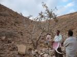 Arbre à encens, Wâdî Dîs, Hadramaout, Yémen
