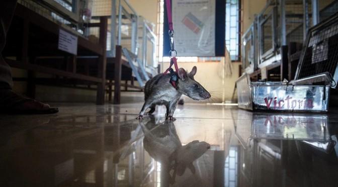 Des rats géants entraînés à jouer les démineurs [Ouest-France]