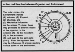 Fig. 3 -Action and reaction between organism and environnement, Patrick Geddes